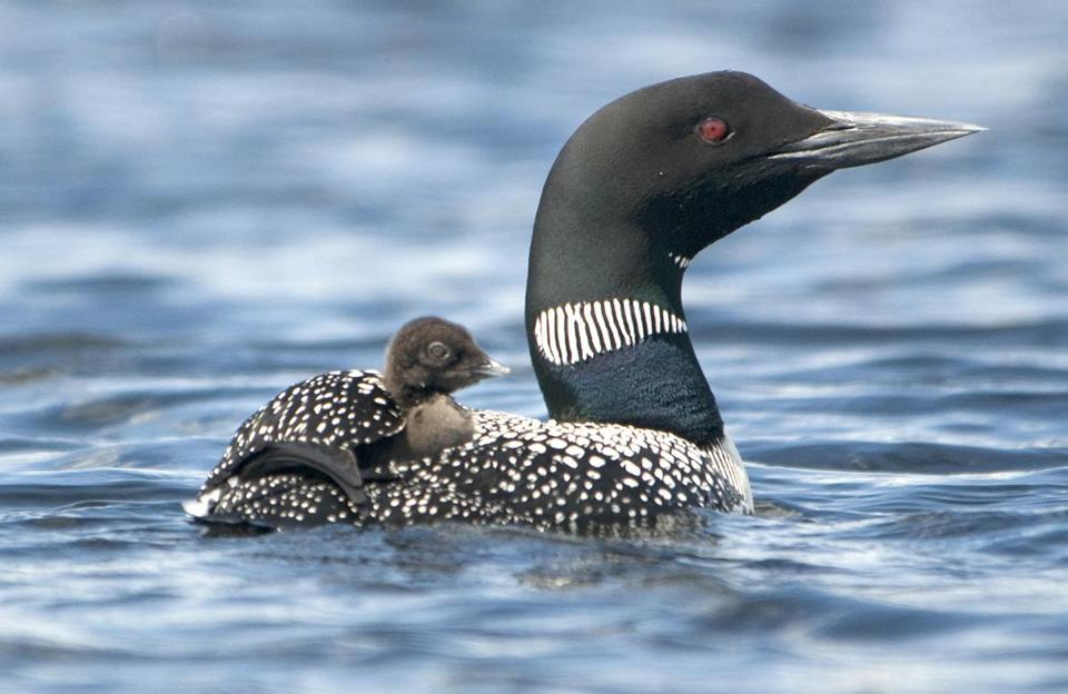 Declining: The common loon increased their breeding distribution, but chick survival rate is low.