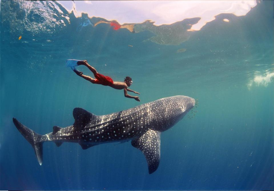 "Jawi with a whale shark in ""Journey to the South Pacific."""