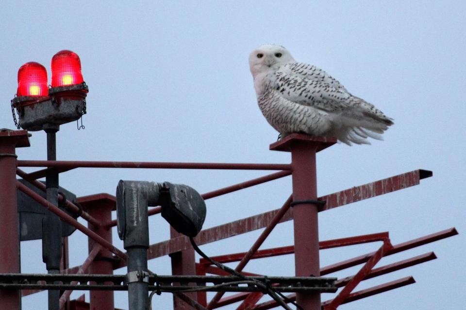 Snowy owls are drawn to the low, flat land around Logan.