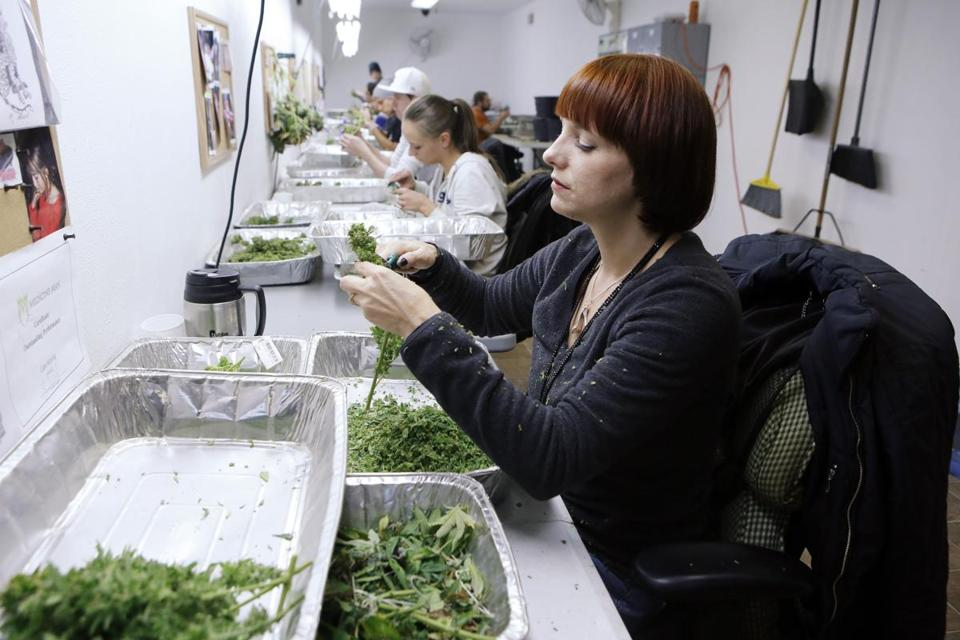 Workers processed marijuana in the trimming room at the Medicine Man dispensary in Denver.