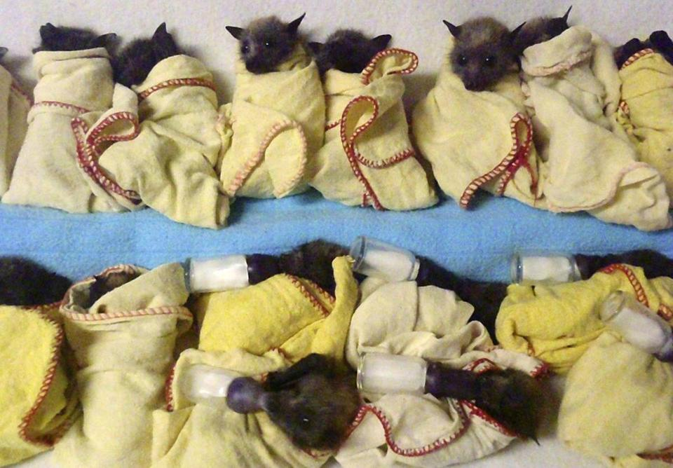 Fifteen heat-stressed baby flying foxes, a type of bat, were lined up to be fed Thursday at the Australian Bat Clinic near the Gold Coast in Queensland.