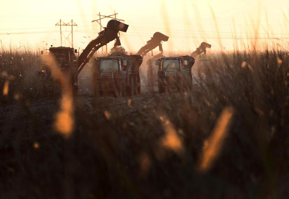 Mechanical harvesters harvested sugar cane in Clewiston, Fla.
