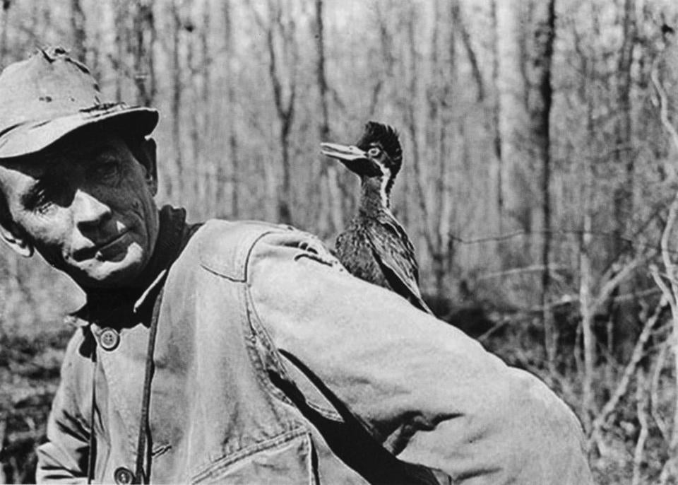 One of a series of photos taken by James Tanner on in 1938 showing a young ivory-billed Woodpecker on the sleeve of his colleague, J.J. Kuhn.