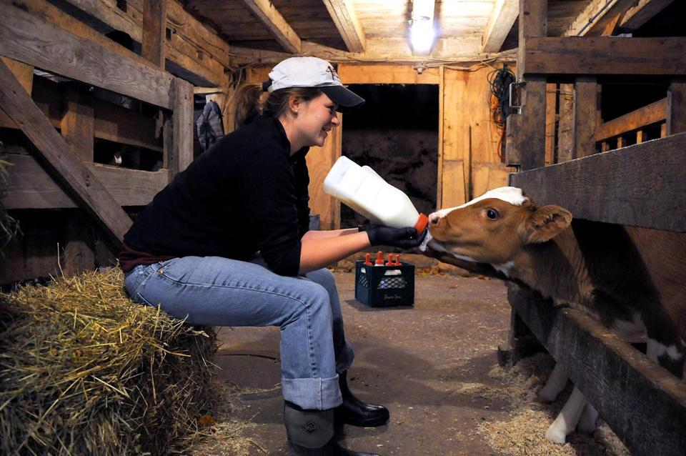Laura Pratt fed two young cows milk in the barn of Hornstra's Dairy Farm in Norwell.
