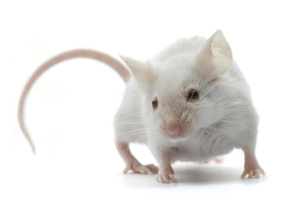 Drug treatments that appear to work in mice often do not garner equally significant results in human studies.