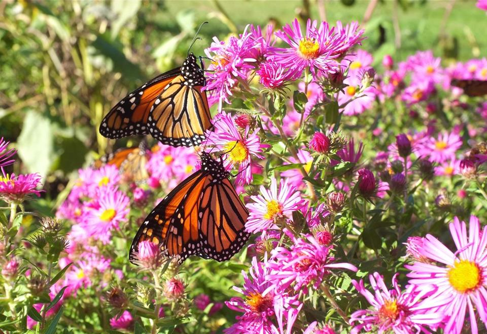 Monarchs on asters.