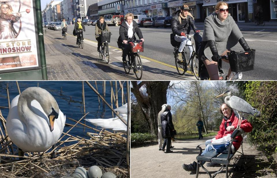 The swans are common now in Copenhagen, where 36 percent of school and work commuters bicycle and another 35 percent walk or take public transit.