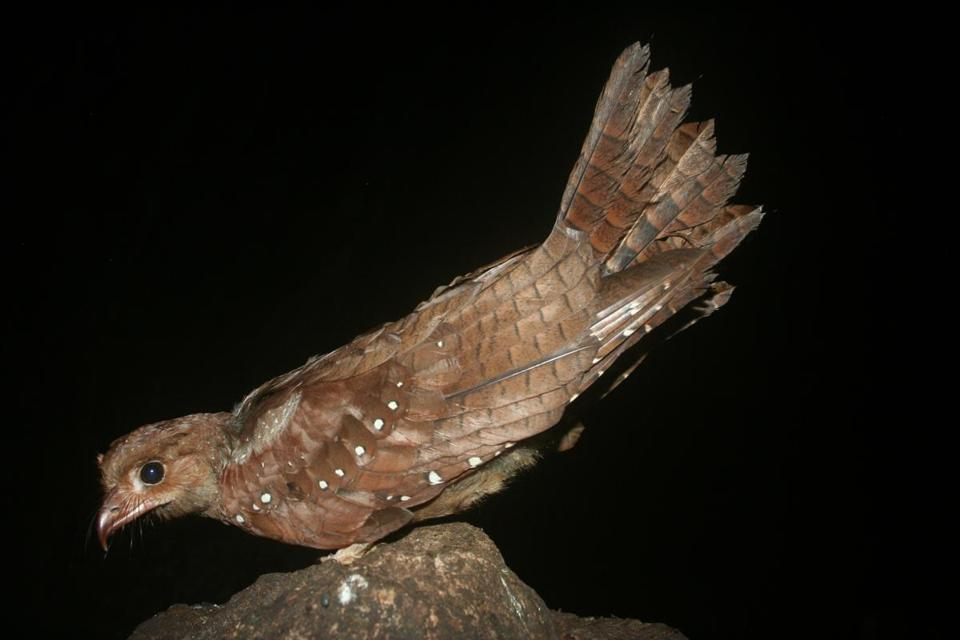 The South American oilbird, photographed in Venezuela, uses echolocation to navigate.
