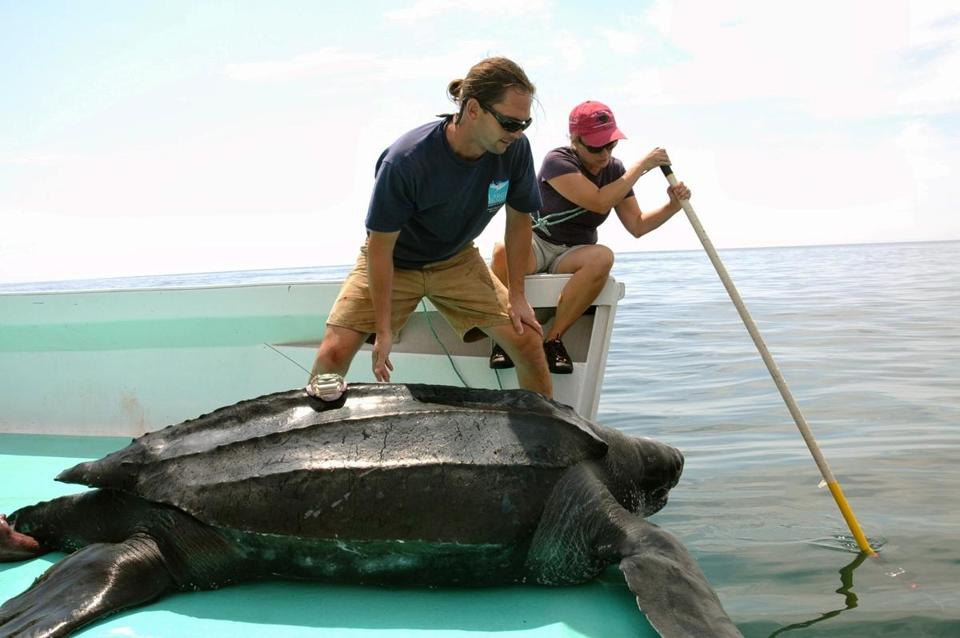 Gloucester-based scientists  Michael Dodge (left) and Kara Dodge preparing to release a satellite-tagged adult leatherback sea turtle.
