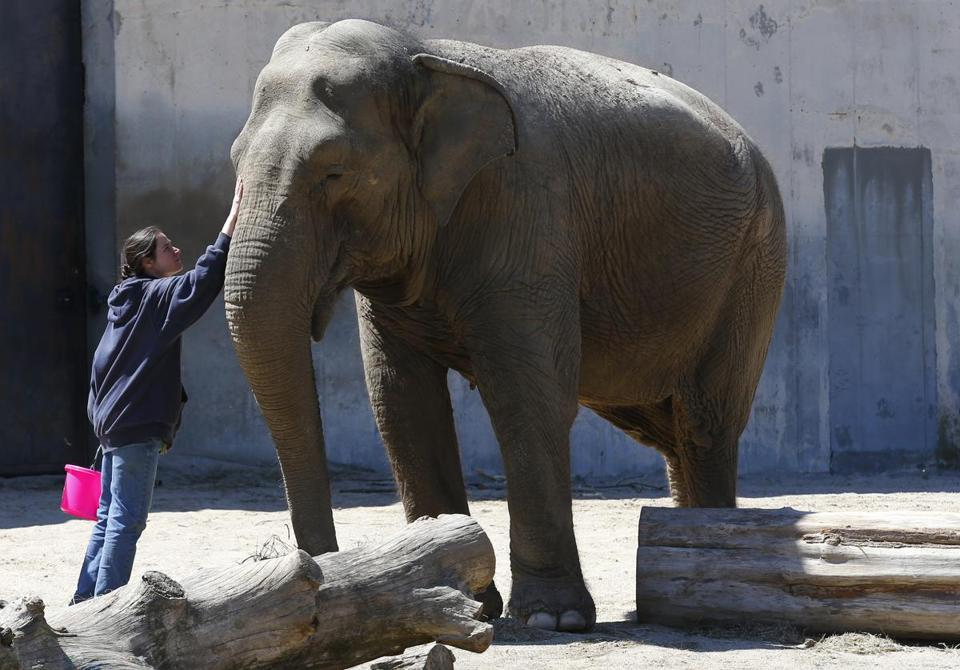 "Karen ""Kay"" Santos of the Buttonwood Park Zoo in New Bedford with one of the zoo's elephants."