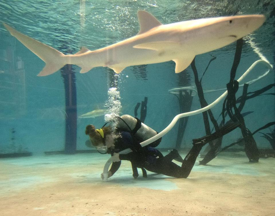 Biologist Caity Crowley cleaned the aquarium's temporary tank in Quincy while a blacknose shark swam nearby.