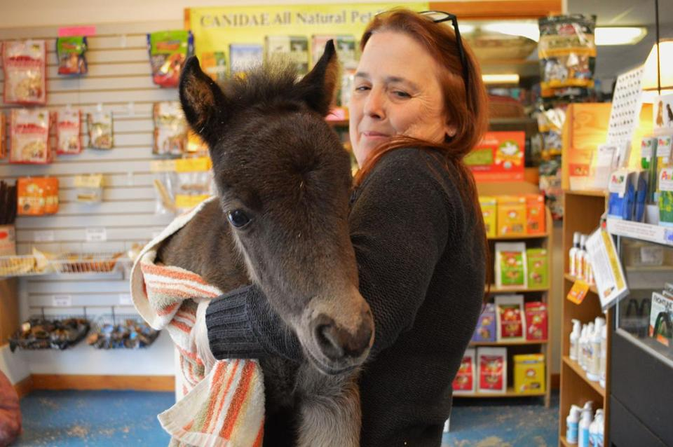 Boston, a 2-week-old miniature horse, is being cared for by Lucille Grenier.