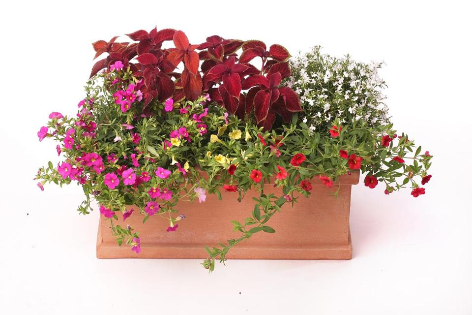 In filling flower boxes, place shorter plants and hanging vines in front and fill around the plants with foliage.