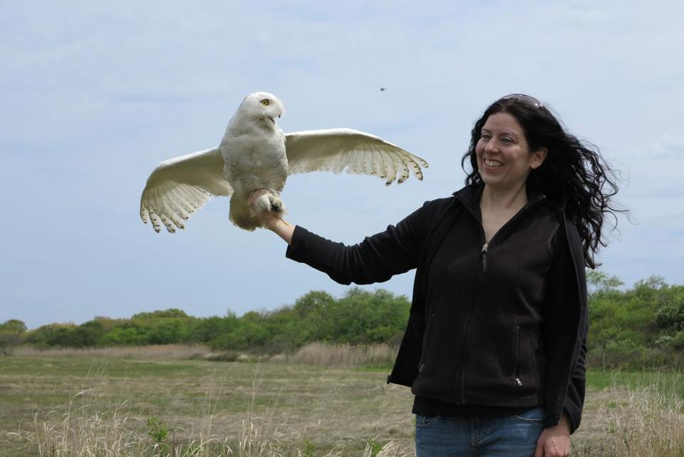 Maureen Murray released a snowy owl on Plum Island