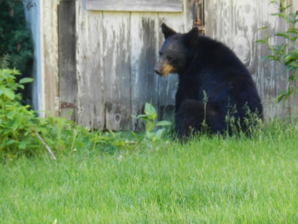 A black bear was spotted in Sturbridge this week.