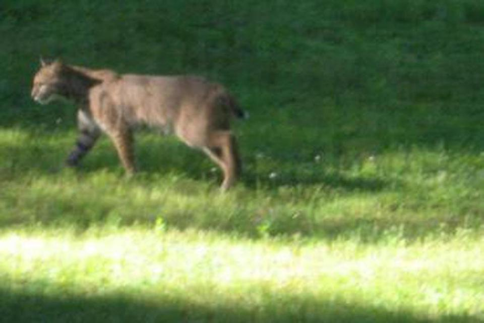A bobcat strolled across the backyard Saturday morning of the Levenson family in Sharon.