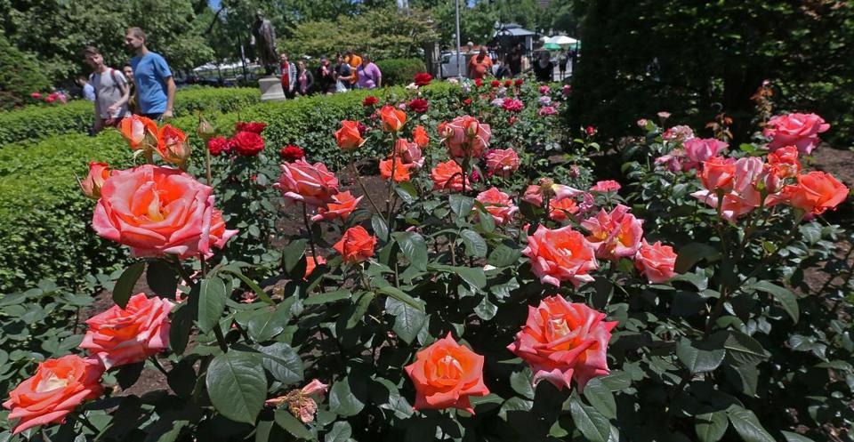 "Some gardeners insist this has been the best season in their memories for the roses of the Public Garden. ""My God, just look at this,'' says one, China Altman."