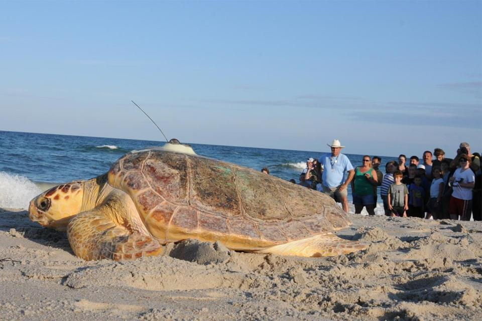 The loggerheads were the last of more than 85 sea turtles that stranded on Cape Cod in November.