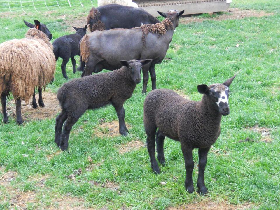 Nine sheep were killed by coyotes in Topsfield.