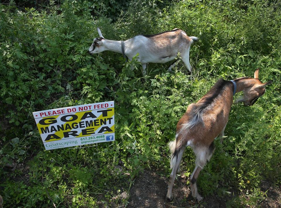 The goats will live on site at the West Street Urban Wild for eight weeks.
