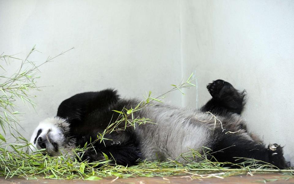 Tian Tian ('sweetie'), the female giant panda, relaxed in her compound at Edinburgh Zoo in 2013.