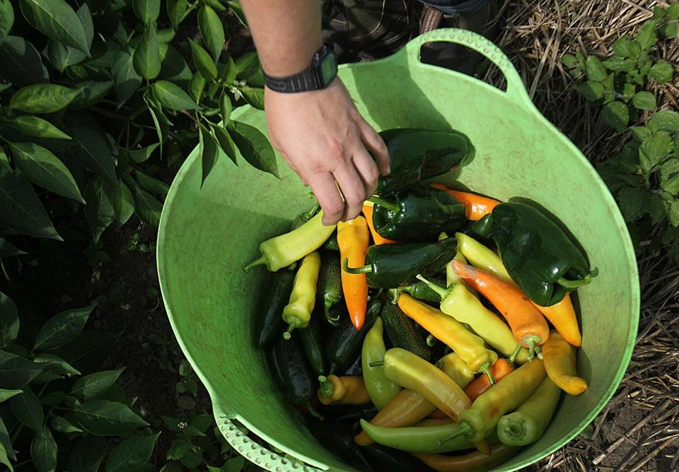 Concord, MA., 08/12/14, Hot peppers being harvested at First Root Farm. Laura Olive Sackton owns First Root Farm. Suzanne Kreiter/Globe staff (The Boston Globe.