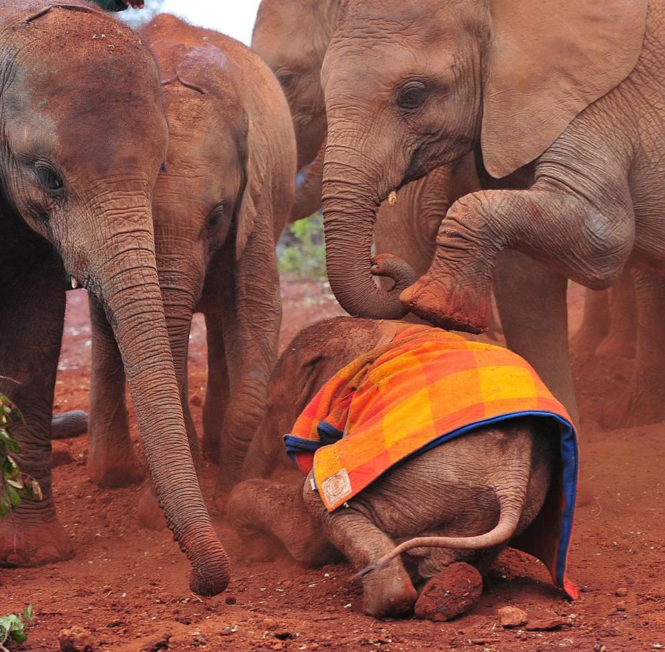This picture taken on August 12, shows orphaned baby elephants at the David Sheldrick Elephant Orphanage at the Nairobi National Park.