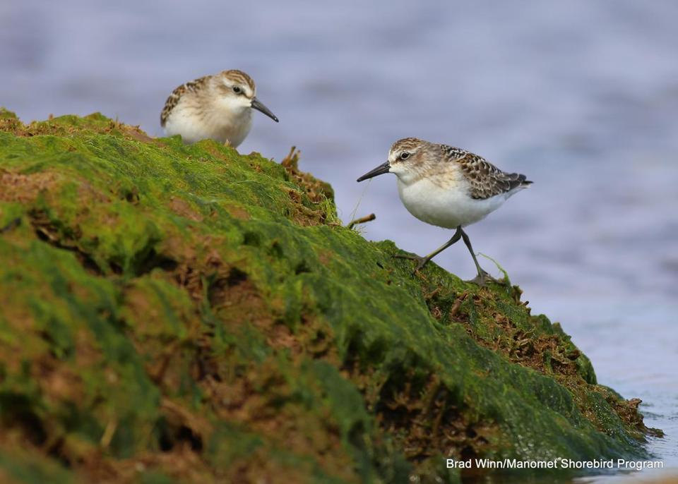 Semipalmated sandpipers have been rapidly declining.