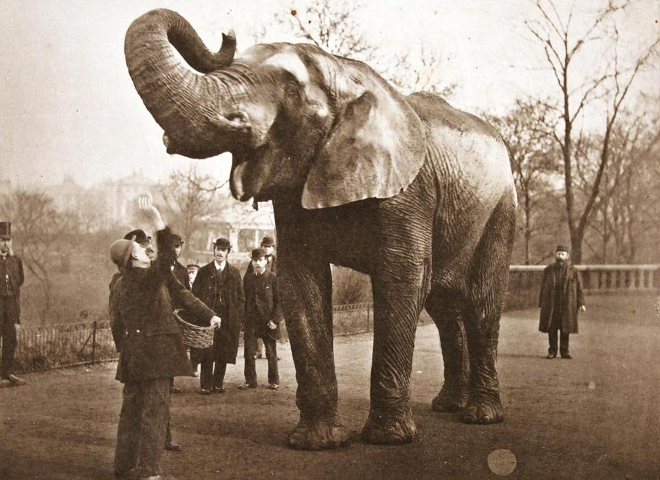 Jumbo at London Zoo, 1882 (being fed buns). Private collection. This photo is the model for the new Jumbo statue destined for Tufts campus Photo courtesy of Andrew McClellan 07FallArt
