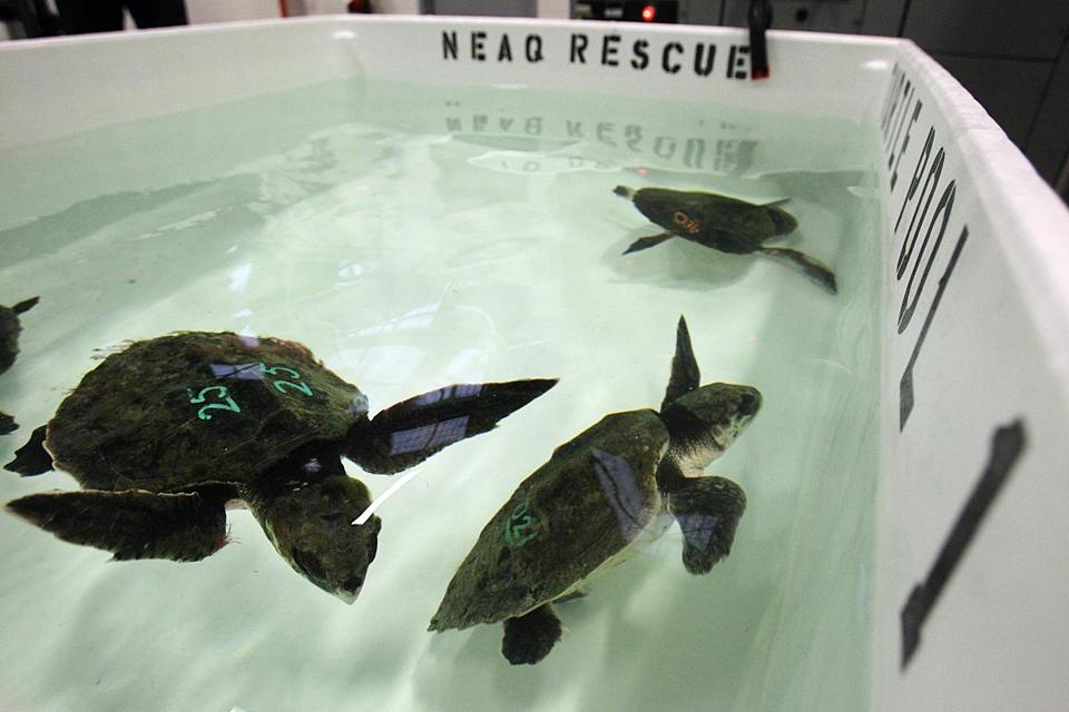 Sea turtles were rehabbed at the Quincy facility of the New England Aquarium.