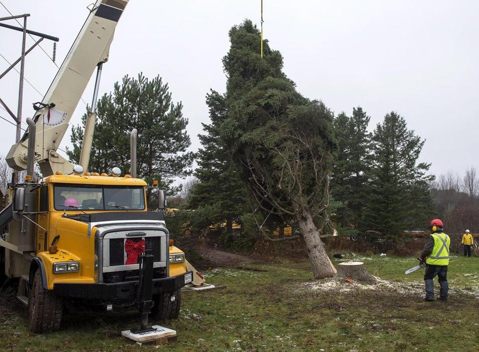 Dan Nightingale delivered the cut that felled the spruce. The tree will be shipped more than 700 miles in time for a Dec. 4 ceremony.