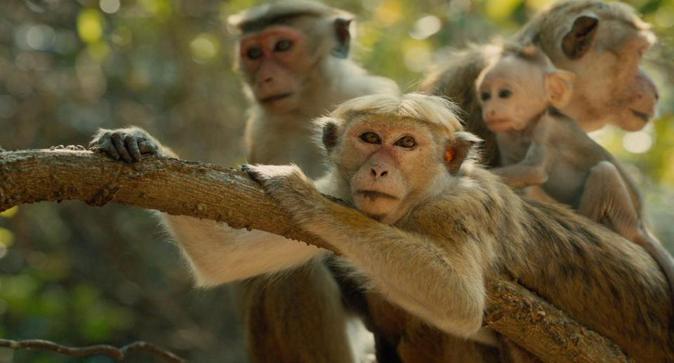 "Maya and son Kip in Disneynature's ""Monkey Kingdom,'' which follows the animals in their Sri Lankan habitat."