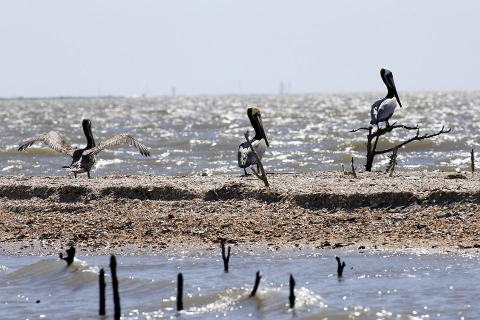 Pelicans nested along the coast of Cat Island in Louisiana on Sunday. The area was once a lush nesting site for thousands of birds before the 2010 oil spill.