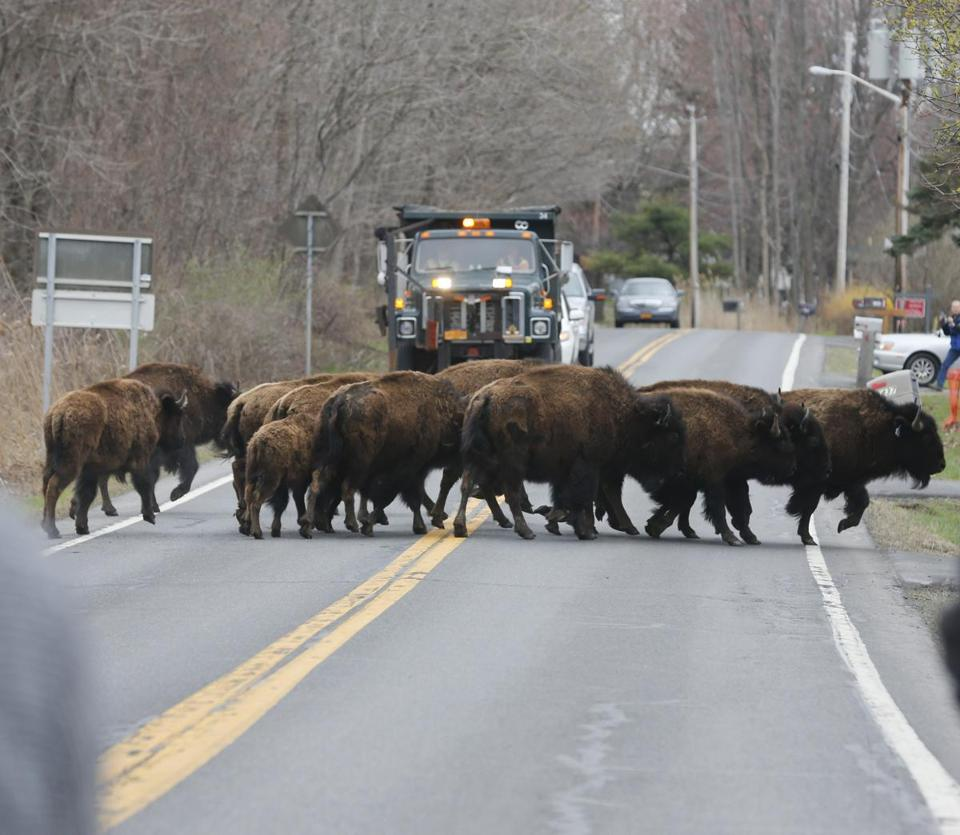 A herd of buffalo was loose from a farm in the town of Schodack.