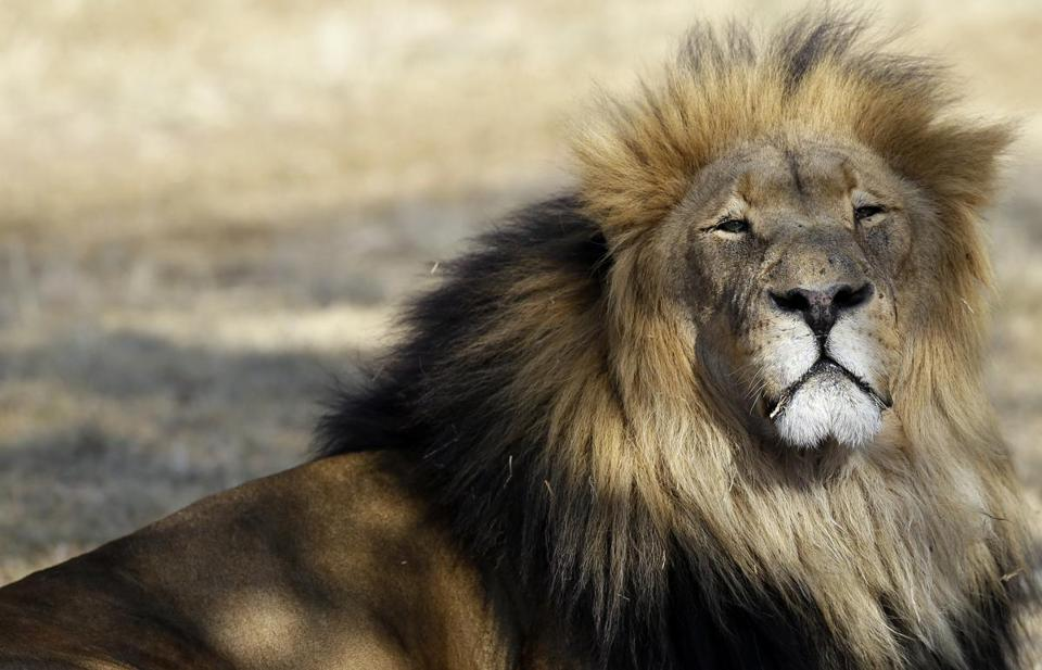 A lion rested inside an enclosure Tuesday at the Lion Park near in Johannesburg.