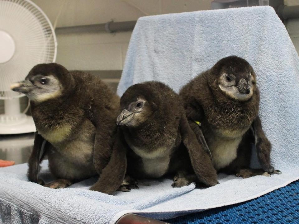 A trio of endangered African penguin chicks made their debut Thursday.