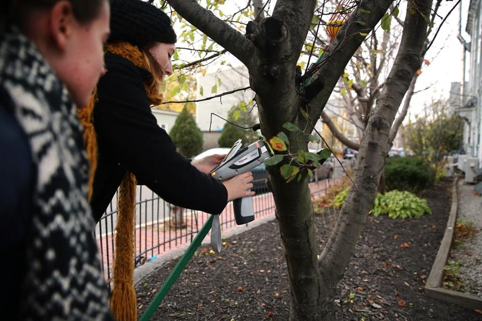 Wellesley College student Ciaran Gallagher checks the lead content in an apple tree in Cambridge.