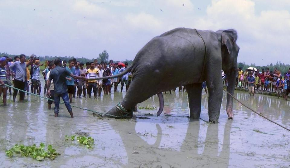 Bangladeshi villagers gathered as wildlife experts attended to a fully grown Indian elephant; they are trying to move the elephant to a safari park outside Bangladesh's capital.