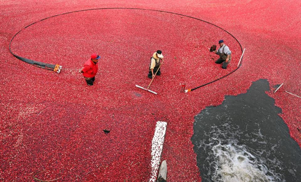 Farmers at Federal Furnace Cranberry Bog in Carver culled cranberries.