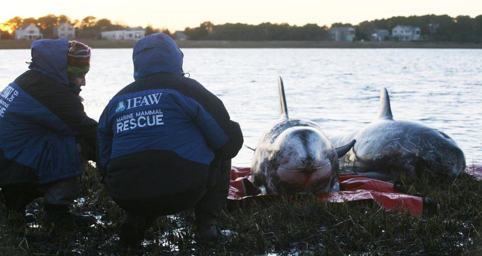 Workers tended to a Russo's dolphin that became stranded in Wellfleet Harbor.