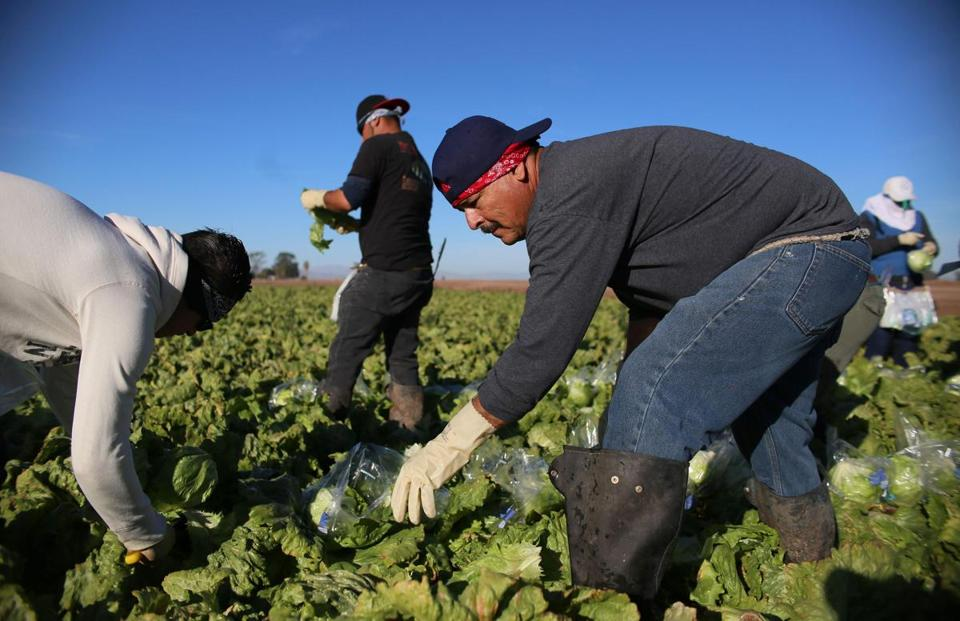 Mexican Farm workers harvest lettuce in a field outside of Brawley, California, in the Imperial Valley, on January 31, 2017. Many of the farm workers expressed fears that they would not be able to continue working in the United States under the President Trump's administration. / AFP PHOTO / Sandy HuffakerSANDY HUFFAKER/AFP/Getty Images