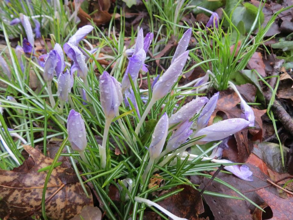 Spring crocuses bloomed in South Natick on the first day of spring in 2016. (Photo by Dave Epstein)