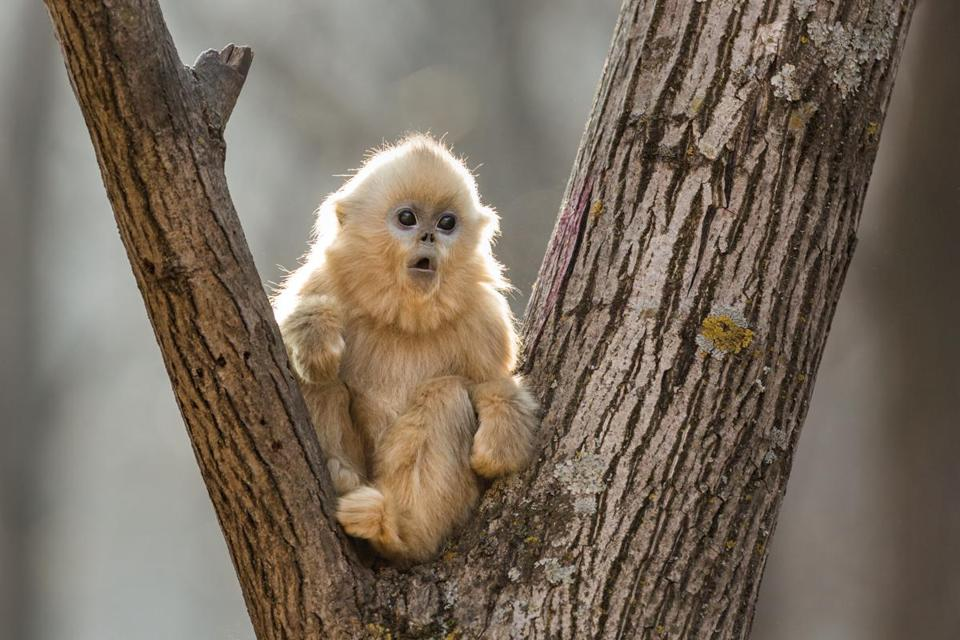 "A golden snub-nosed monkey in ""Born in China."""