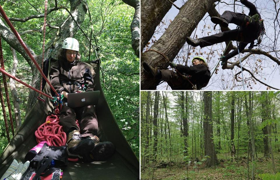 Lynda V. Mapes (far left) spent a year in the Harvard Forest studying one red oak and kept meticulous notes. In the oak, climbing instructor Melissa LeVangie (left) shows novice Mapes the ropes. Two webcams keep an eye on seasonal changes in the witness tree canopy.