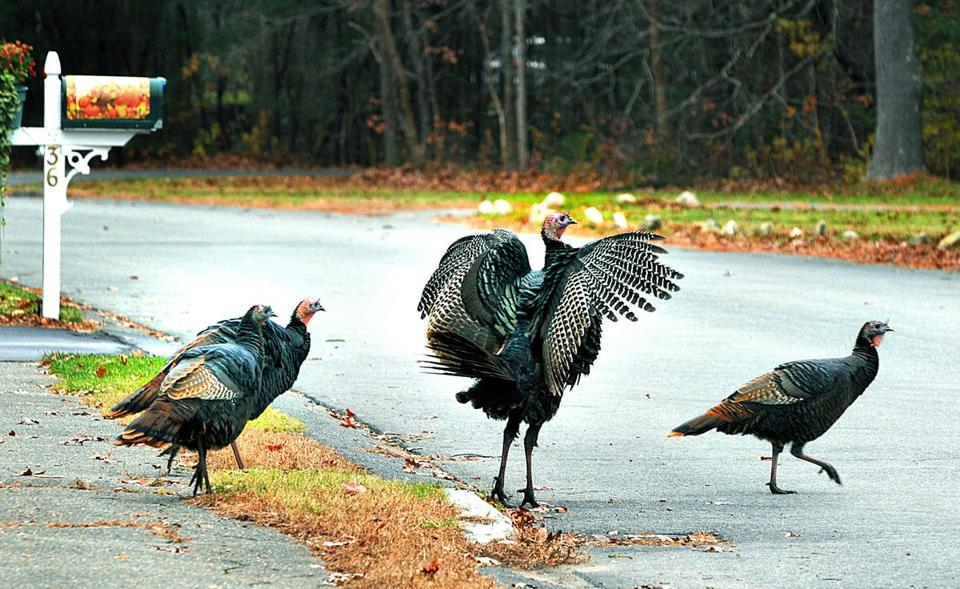 Wild turkeys had the run of Pudding Brook Drive in Pembroke.