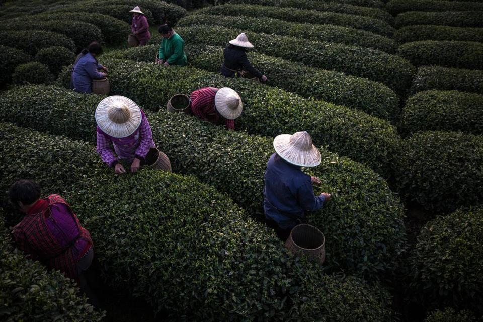 Homeland of tea
