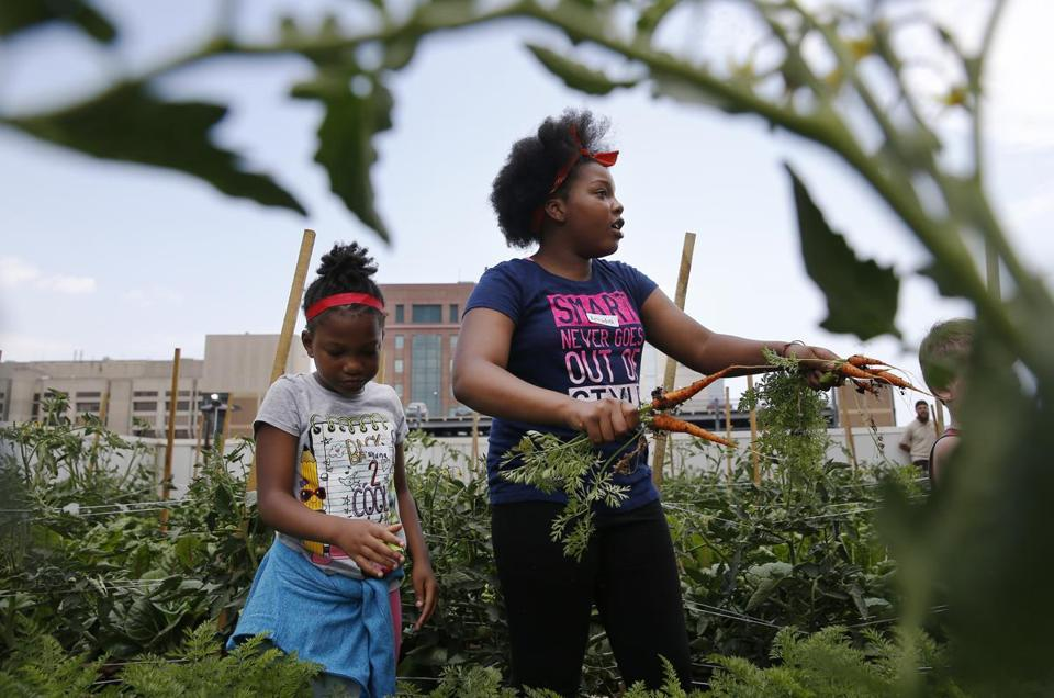 Boston, MA -- 7/12/2017 - Arlydia Walker, 11, of Dorchester (R) and her sister, Dayana, 6, pick carrots at Boston Medical Center's Rooftop Farm. (Jessica Rinaldi/Globe Staff) Topic: 13rooftopfarmpic Reporter: