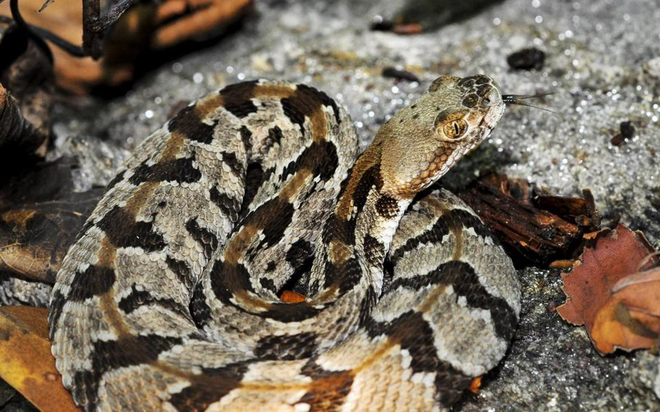 A timber rattlesnake rested in a coil on a rock in Western Mass.