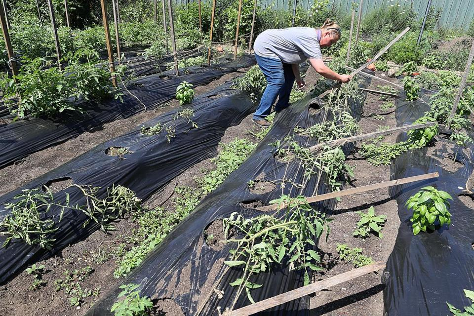 Deirdre Semiglia, of the Urban Farming Institute, tried to fix vandalized vegetable plants. The farm, next to the tennis center, also was attacked.
