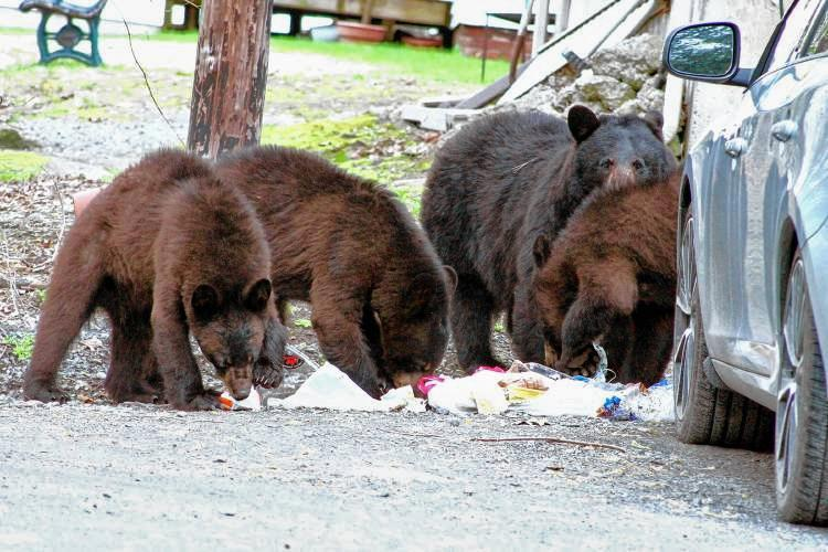 Bears ate from a trash can in Hanover, N.H., in April.